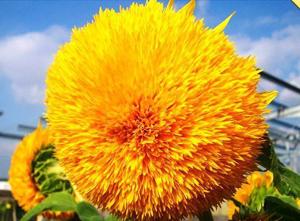 Подсолнух: и цветок, и лакомство
